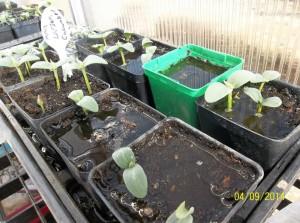 cucumber_seedlings